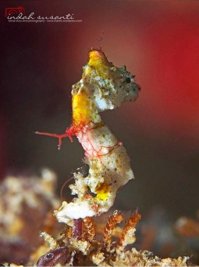 Pygmy Sea Horse