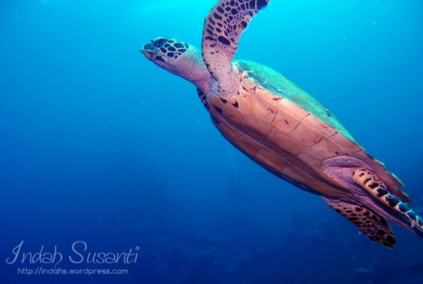 Sea Turtle at Tulamben