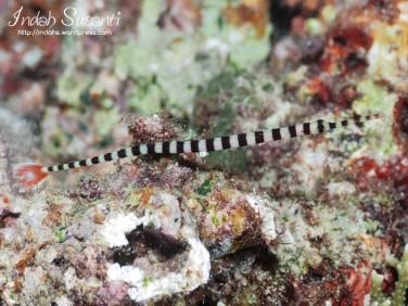 Banded Pipefish - Raja Ampat