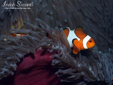 Percula Clownfish