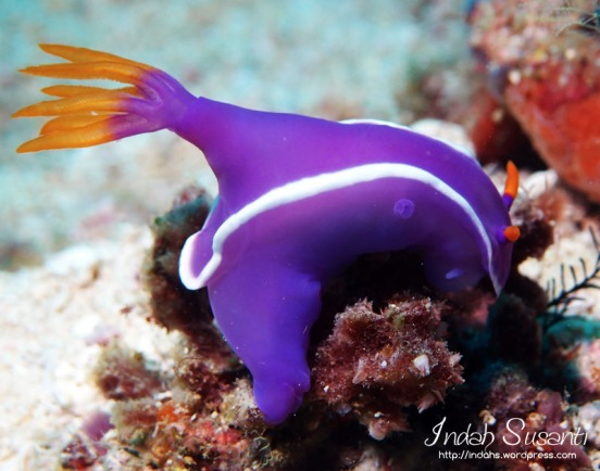 Hypselodoris sp Nudibranch