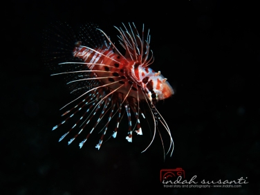 Upside down Lionfish