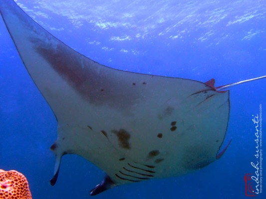 Spots on Manta's Belly