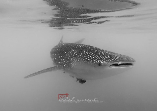 Whale Sharks of Oslob