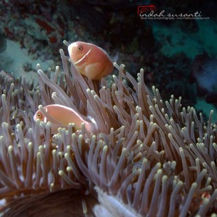 Pink Skunk Anemonefish