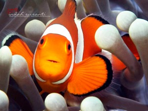 Nemo by Indah Susanti