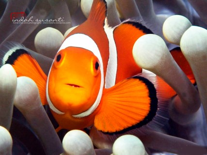 Bangka's Nemo