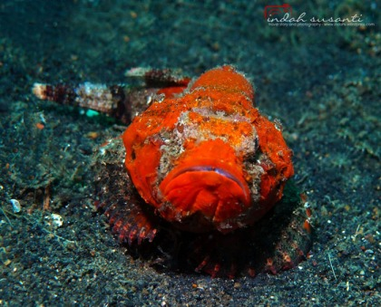 Devil Stonefish