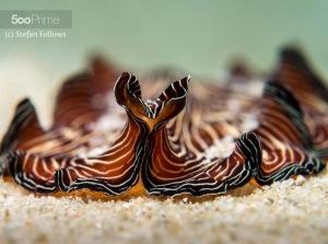 Flatworm Pseudobiceros sp by Stefan Follows