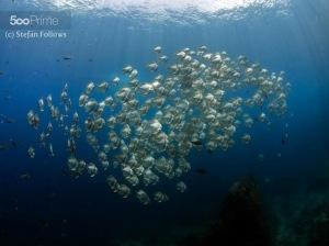 Longfin Batfish by Stefan Follows