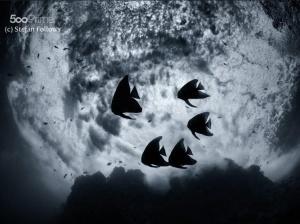 Longfin Batfish (juvanile) by Stefan Follows