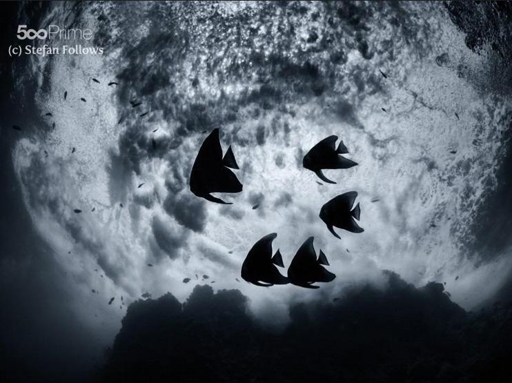 Longfin Batfish (juvanile)
