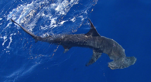 Hammerhead Shark, Picture by NOAA NMFS