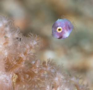 Baby Filefish