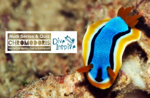 Nudibranch Chromodoris