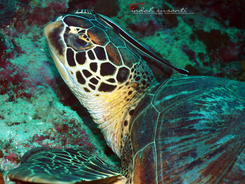 Apo Island – Diving with Turtles