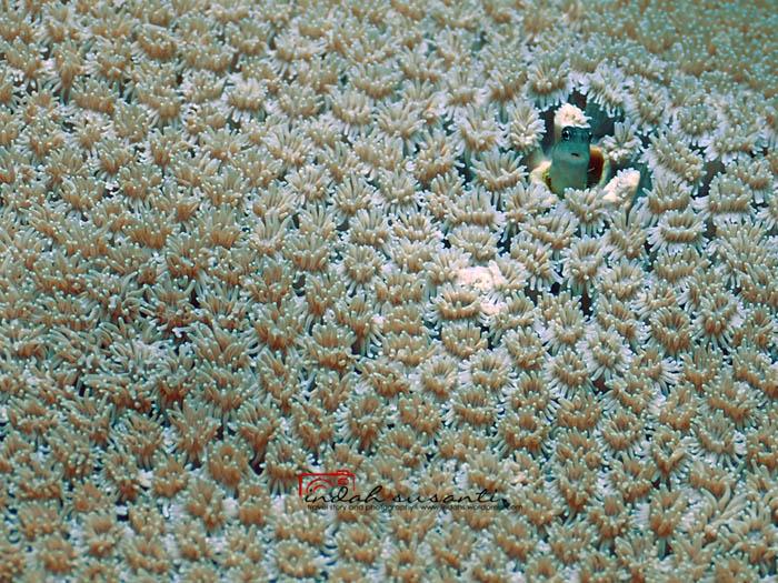 Blennioidei in Bangka Island, North Sulawesi, Indonesia