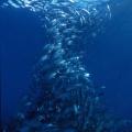Don sutherland 09 – amazing fishformation