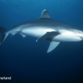 Image by Don Sutherland –Shark