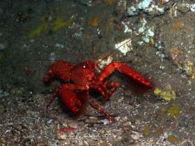 Dwarf Lobster