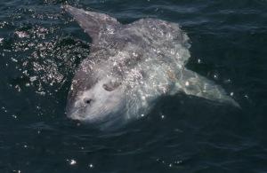 Sunbathing Mola-Mola (image by Moosealope)