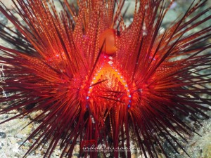 Fire Sea Urchin