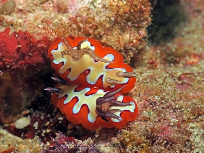Going to mate? (Nudibranch)