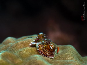 Christmas Tree (tube worm)