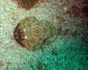 Bullseye electric ray by Steve Ryan