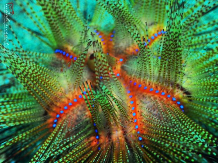 Beautiful Venomous Fire Sea Urchin