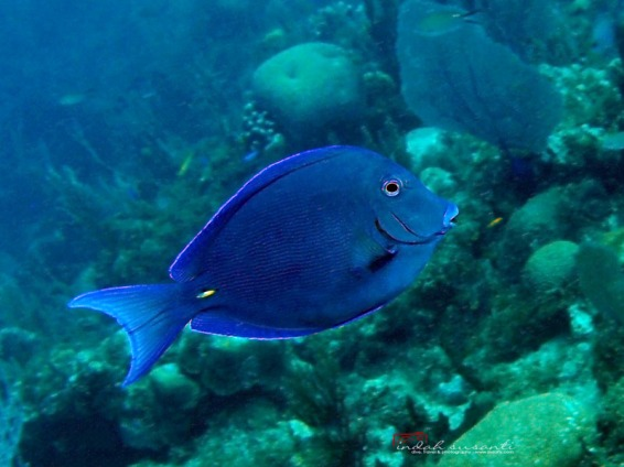Blue Tang in the Caribbean