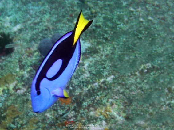 Regal/Royal Blue Tang Fish in Indonesia