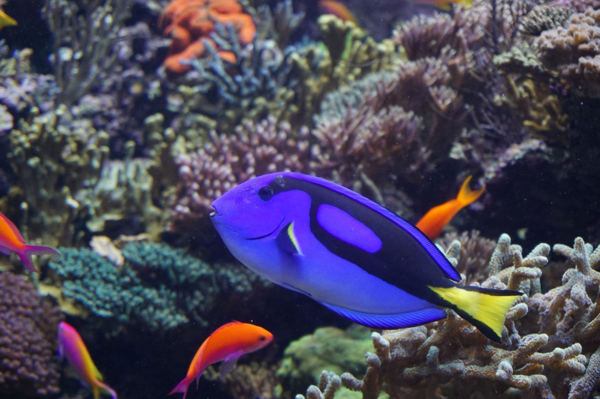 Finding dory the facts of the royal blue tang fish for Blue tang fish facts