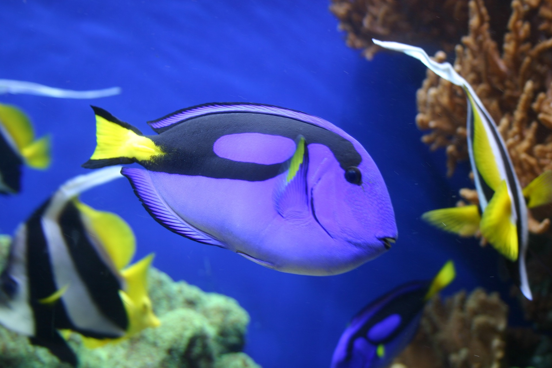 Royal blue tang pixabay indahs dive travel photography for Blue tang fish facts