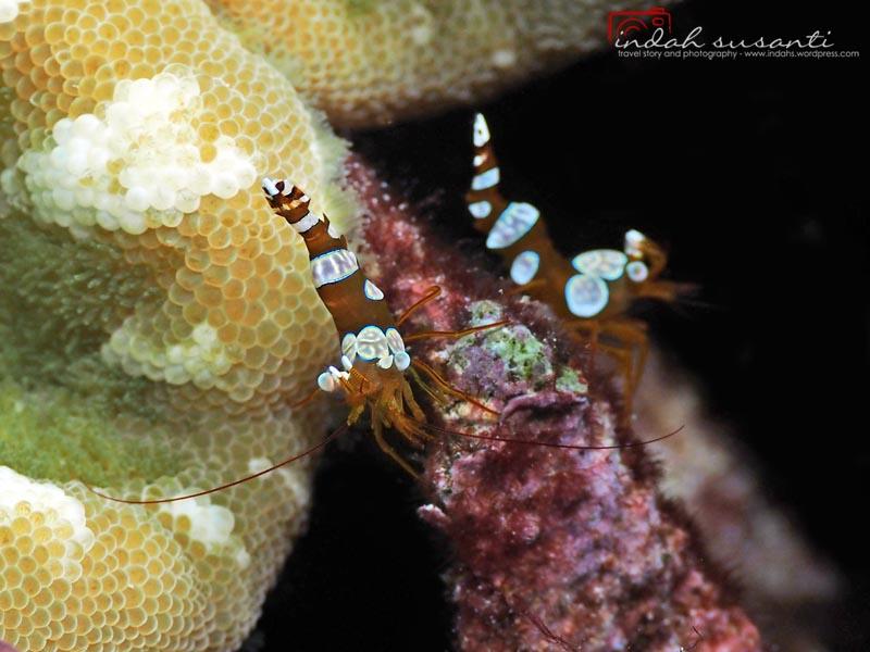 Sexy Anemone Shrimp