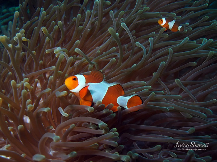 Ocellaris Clownfish. The biggest clownfish is a female.