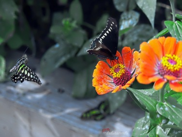Blooming Butterflies at Como Park