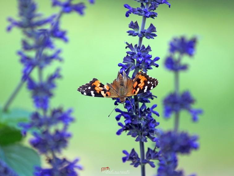 Butterflies in Loring Park