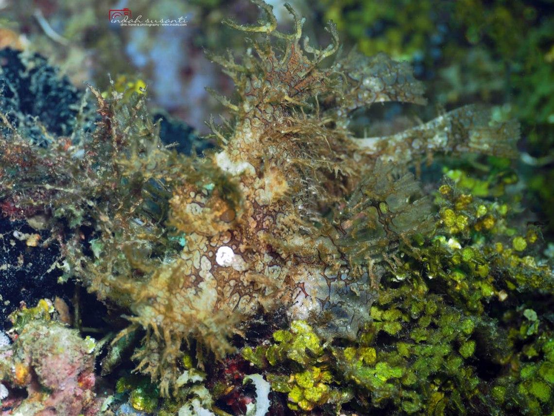 Rhinopias frondosa (Weedy scorpionfish)
