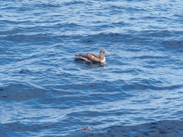 Booby bird - Galapagos