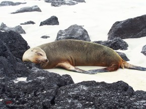 Galapagos Sea Lion at Puerto Chino
