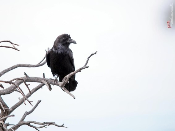 Ravens at Grand Canyon National Park