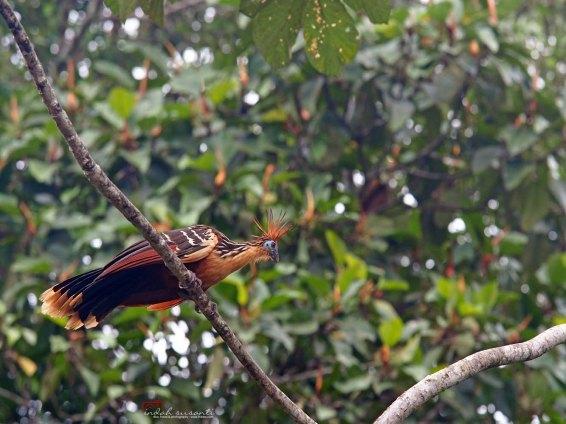 Hoatzin bird