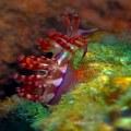 Bangka, Nudibranch