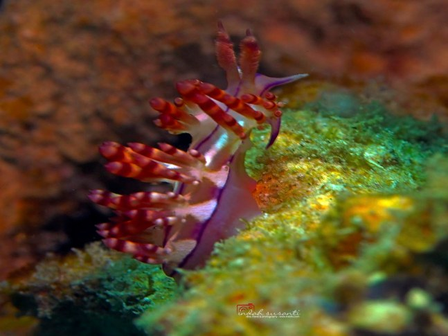 Bangka, Nudibranch