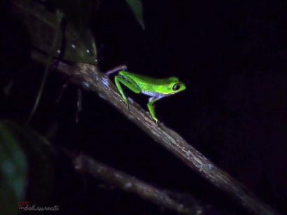 Tarsier leaf frog