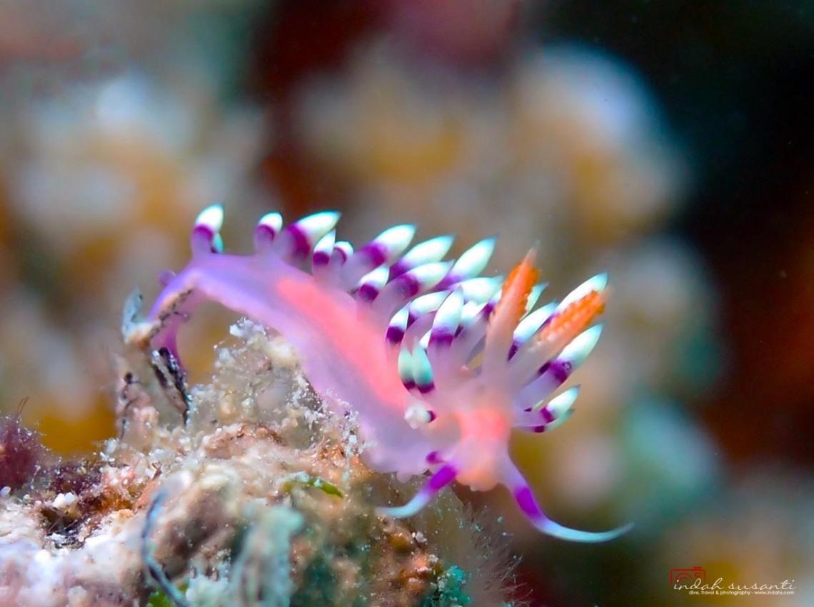 Nudibranch Flabellina exoptata