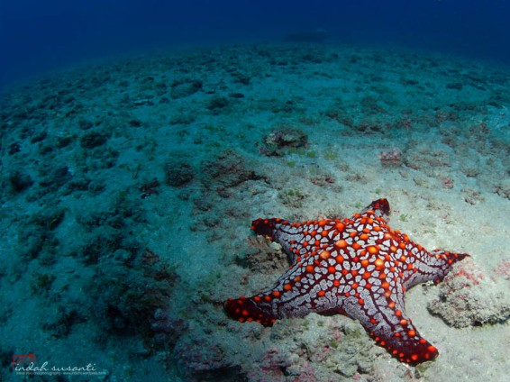 Sea Star, Starfish in Costa Rica