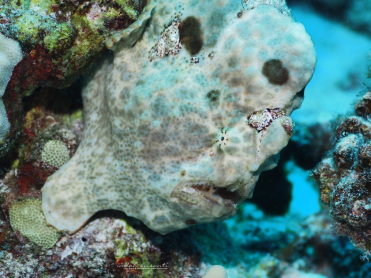 Frogfish in Hawaii