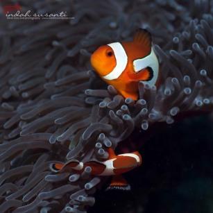 Common Clownfish
